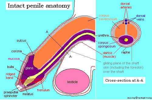 superficie dorsale del pene
